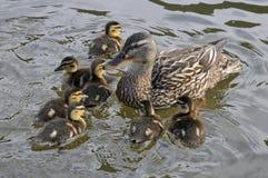 kaczki kaczątek kobieta swój mallard Zdjęcia Royalty Free