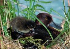 kaczki kaczątka kobieta kiciasta Fotografia Stock