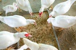 Kaczki karmienie na gospodarstwie rolnym obraz stock
