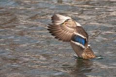 kaczki kobieta nad zerkań skrzydłami jej mallard Zdjęcia Stock