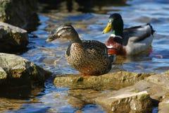 kaczki kobiety mallard Zdjęcia Royalty Free