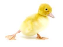 kaczki kolor żółty Zdjęcie Stock