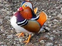 kaczki kolorowa mandarynka zdjęcia stock