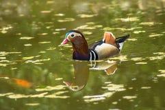 kaczki kolorowa mandarynka Obrazy Royalty Free