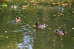 kaczki kolorowa mandarynka Mandaryn kaczki dopłynięcie w jeziorze Ptak z bri zdjęcia stock