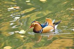 kaczki kolorowa mandarynka Mandaryn kaczki dopłynięcie w jeziorze Ptak z bri fotografia stock