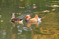 kaczki kolorowa mandarynka Mandaryn kaczki dopłynięcie w jeziorze Ptak z bri obrazy stock