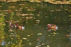 kaczki kolorowa mandarynka Mandaryn kaczki dopłynięcie w jeziorze Ptak z bri zdjęcie stock