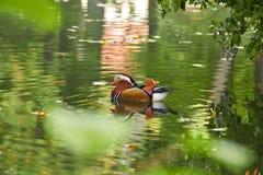 kaczki kolorowa mandarynka Mandaryn kaczki dopłynięcie w jeziorze Ptak z jaskrawymi barwiącymi piórkami Kaczka z pięknym kolorem  obraz royalty free