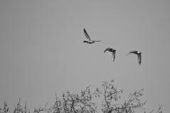 Kaczki lata nad Hyde parkiem w Londyn, Anglia Zdjęcie Royalty Free
