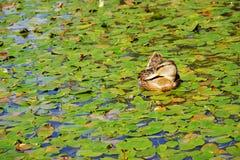 kaczki leluj mallard staw otaczająca woda Obrazy Stock