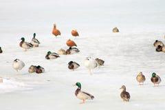 Kaczki lub anas, raczej, na śnieżnym tle fotografia stock