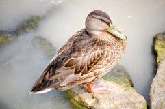 kaczki mallard Fotografia Royalty Free