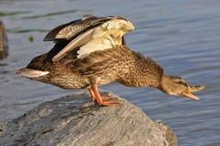 kaczki mallard Obrazy Royalty Free