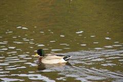 Kaczki Mallard w wodzie - natura jest piękna Zdjęcie Royalty Free