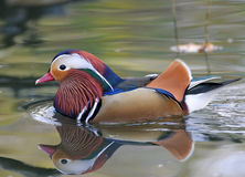kaczki mandarynka Zdjęcie Royalty Free