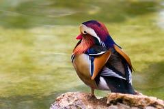 kaczki mandarynka Obrazy Royalty Free