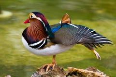 kaczki mandarynka Obraz Stock