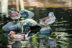 Kaczki mandarynka Fotografia Royalty Free
