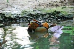 kaczki mandarynka Zdjęcia Royalty Free