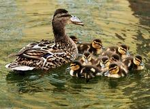 kaczki matkują potomstwa Obrazy Royalty Free