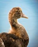kaczki Muscovy potomstwa Obraz Stock