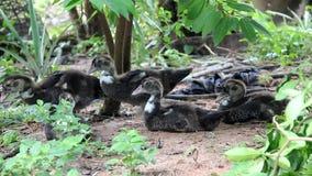 kaczki Muscovy potomstwa zbiory