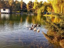 Kaczki na jeziorze Zdjęcie Royalty Free