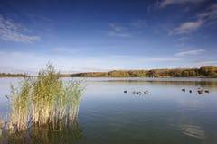 Kaczki na jeziorze Obrazy Royalty Free