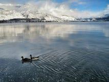 Kaczki na jeziorze Zdjęcia Stock