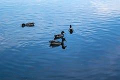 Kaczki na jeziorze na letnim dniu obraz stock