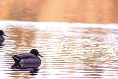 Kaczki na jeziorze w jesieni Wodny lustro Zmierzch obrazy stock
