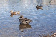 Kaczki na ląd czyścą ich piórka zdjęcia royalty free