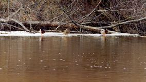 Kaczki na lodowym floe na rzece w wiośnie zbiory wideo