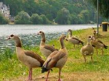 Kaczki na Moselle Fotografia Stock