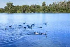 Kaczki na pięknym jeziorze zdjęcia stock