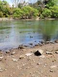 Kaczki na rzece zdjęcie stock