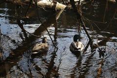 Kaczki na rzece Obrazy Royalty Free