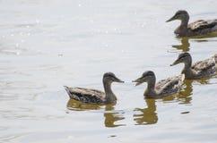 Kaczki na rzece, lato Fotografia Royalty Free