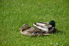 Kaczki na trawie Obrazy Royalty Free