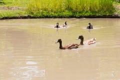 Kaczki na wodzie Obrazy Stock