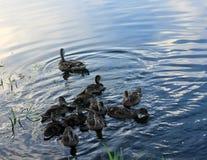 Kaczki na wodzie Obrazy Royalty Free