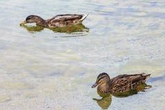 Kaczki na wodzie Obraz Stock