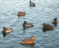 Kaczki na wodzie Zdjęcia Stock