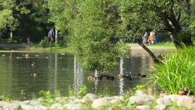Kaczki na wodzie w miasto parka stawie Kaczki pływają w stawie w miasto parku kaczki pływanie w miasto parku zdjęcie wideo