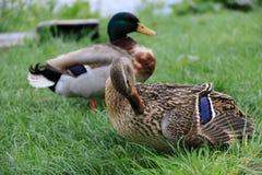 Kaczki na Zielonej trawie Fotografia Stock