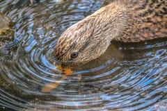 kaczki nurkowy jedzenie Obraz Stock
