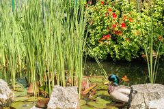 Kaczki obsiadanie W stawie park Zdjęcia Royalty Free
