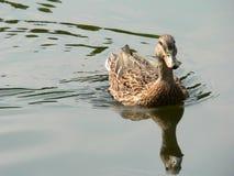 kaczki odbicia Obrazy Royalty Free