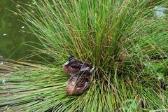 Kaczki odpoczywa w trawie, Grewellthorpe Zdjęcie Royalty Free